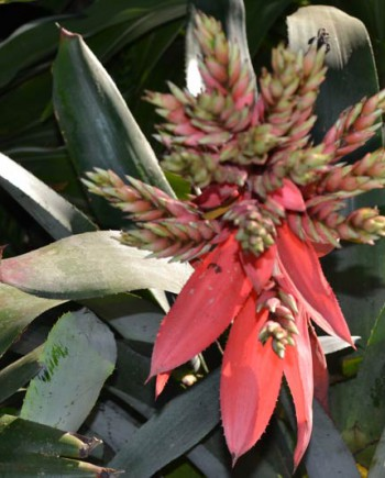 Aechmea-chantinii-1