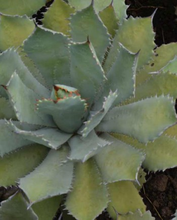 Agave-potatorum