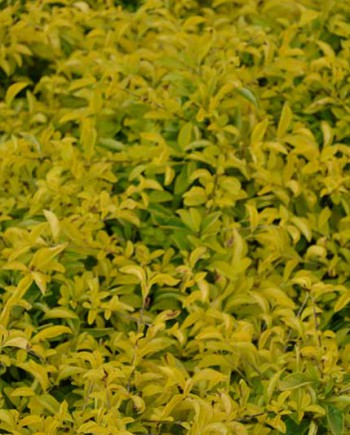 Duranta-gold-mount-1